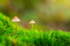 two small mushrooms in green moss - stock photo
