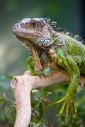 Portrait of an iguana - stock photo