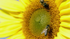 Detail of two bees tring to find the best pollen on the head of sunflower Stock Footage