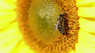 Stock Video Footage of Bee carefully picks out the pollen on the sunflower
