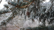 Stock Video Footage of Close Frozen Cold Tree Limbs and Pine Needles