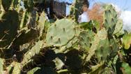 Stock Video Footage of coastal cactus