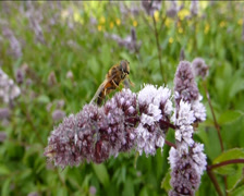 BEE BUSY POLLINATING A STALK OF FLOWERS.(FLOWER AND BEE--10B) Stock Footage
