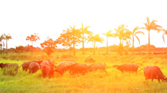 Wild buffalo Stock Footage