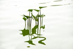 plant and it's shadow on the water - stock photo