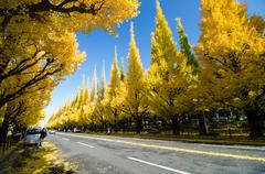 ginkgo tree avenue heading down to the meiji memorial picture gallery, tokyo, - stock photo