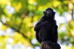 Sulawesi Crested Macaque Stock Photos