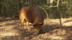 Heritage Breed Tamworth Pig Sniffing Around in the Woods Stock Footage