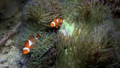 Anemone fish or clownfish on their anemone home Stock Footage