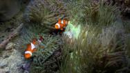 Stock Video Footage of Anemone fish or clownfish on their anemone home