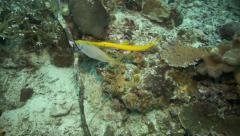 Yellow pipefish closely following yellowtail snapper along coral reef Stock Footage