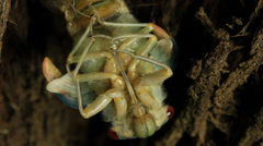 Stock Video Footage of Cicada Hatching 13