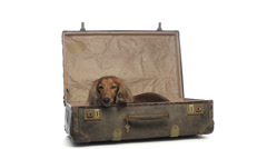 Dachshund lying in an old suitcase Stock Footage