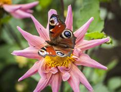 butterfly on a dahlia - stock photo