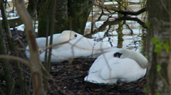 Medium shot of two swans sleeping. Stock Footage