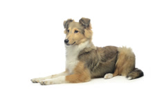 shetland sheepdog lying and looking around - stock footage