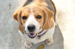Portrait cute beagle puppy dog looking up Stock Photos