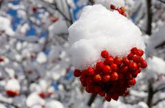 rowan-berry in winter - stock photo