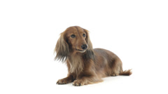 Dachshund lying and looking around Stock Footage