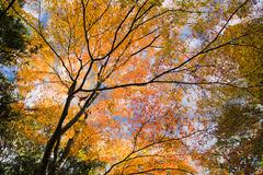 Beautiful maple season for adv or others purpose use - stock photo