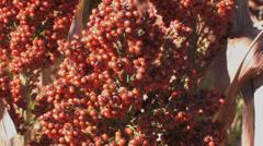 Sorghum grain field 1 Stock Footage