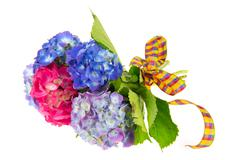 blue and pink hydrangea - stock photo