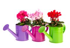 Stock Photo of red and pink cyclamen