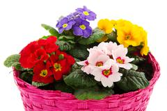 pink basket with colorful primroses - stock photo