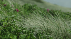 Marram grass Stock Footage