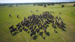Cattle drive aerial wide Stock Footage