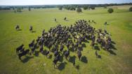 Stock Video Footage of Cattle drive aerial wide