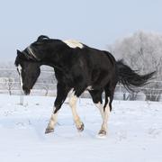 Gorgeous paint horse stallion running on winter pasturage Stock Photos