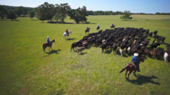 Stock Video Footage of Cattle Drive aerial wide 3