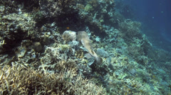Spotted Porcupinefish swimming oover coral reef Stock Footage