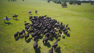Stock Video Footage of Cattle drive aerial wide 2