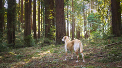 One Labrador Dog Outdoors In Nature. Stock Footage