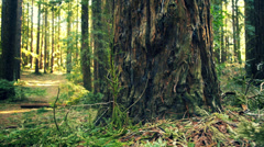 Point of view walking in the Redwoods trees. Stock Footage