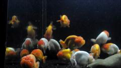 Goldfish, Carassius auratus, lionhead, swimming underwater Stock Footage