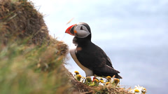 Puffin Stock Footage