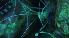 Close up boxer shrimps feeding Stock Footage