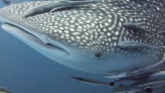 Young whaleshark heads straight for the camera Stock Footage