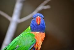 parakeet stares - stock photo