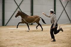 equestrian test of morphology to pure spanish horses, spain - stock photo