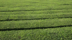 Tea plantation at cha gorreana, maia, san miguel, azores Stock Footage