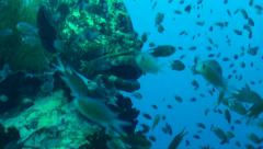 Giant grouper pan around Stock Footage