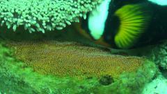 Saddleback clownfish protecting their eggs Stock Footage