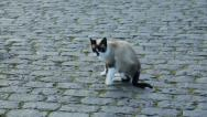 Stock Video Footage of colorful kitten, cat walking on cobble stones