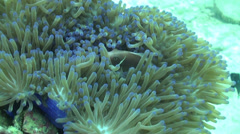 Close up pink anenome fish in soft coral Stock Footage