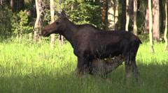 Moose feeding its calf - stock footage