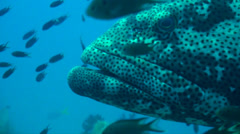Close up on mouth and eyes of giant grouper Stock Footage